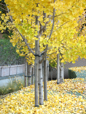 Ginkgo Trees in Santa Monica