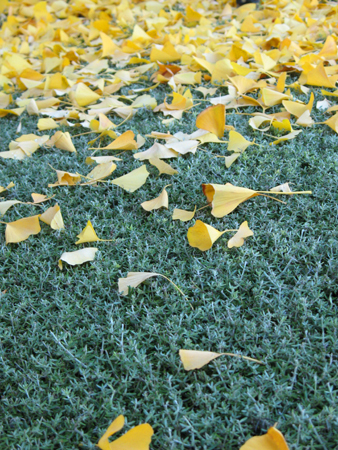 Ginkgo Leaves on Hedge